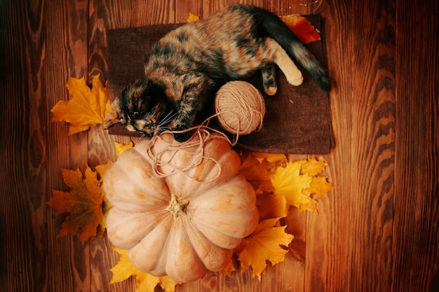 Kleines kätzchen spielt mit einem wollknäuel auf einem braunen teppich, große, reife kürbisse, süße katze und gelber...