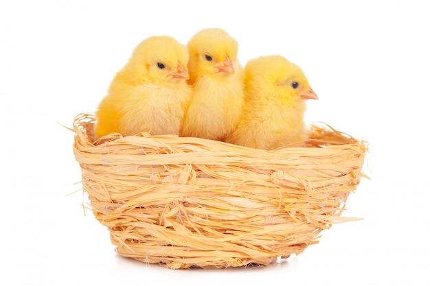 Kleines küken und eier im nest, getrennt auf dem weiß
