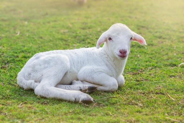 Kleines lamm wurde auf einem bauernhof auf feld gelegt