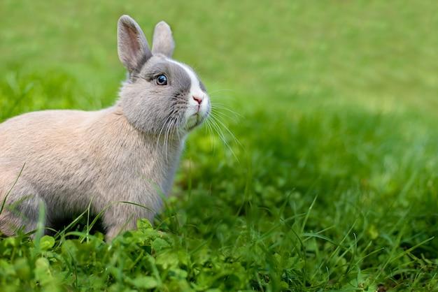 Kleines lustiges zwergartiges kaninchen, das eine zunge zeigt. osterhase auf einem grünen hintergrund.