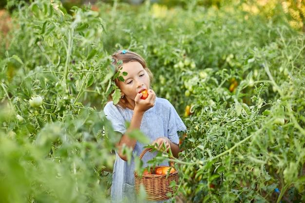 Kleines mädchen, das eine köstliche ernte von roten bio-tomaten isst und genießt