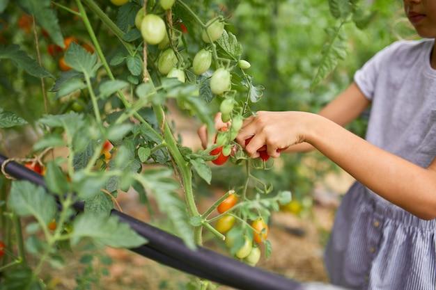 Kleines mädchen, das pflücken, ernte von roten bio-tomaten zu hause im garten sammeln