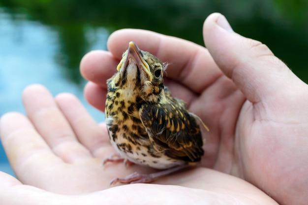 Kleines nestling schluckt fluss (swift), ein mann hält in seinen händen.