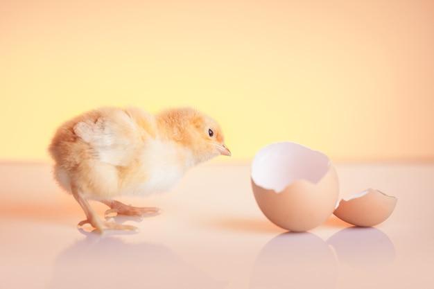 Kleines neugieriges geschlüpftes huhn, das auf eierschale schaut