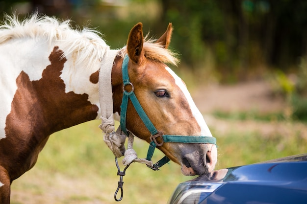Kleines pferd schnüffelt an einem auto