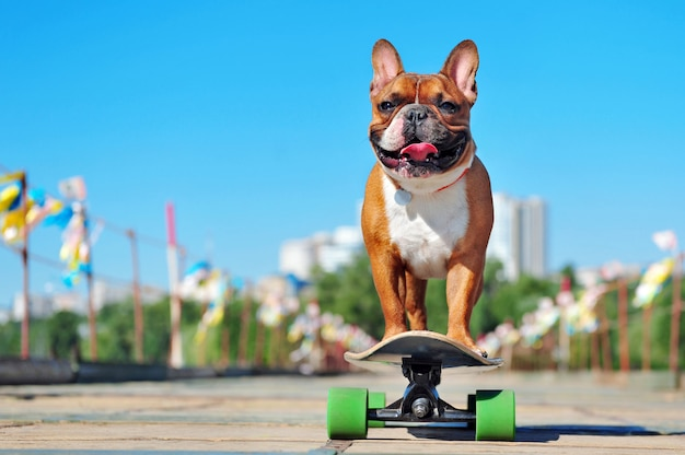 Kleines reiten der französischen bulldogge auf dem langen brett