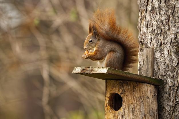 Kleines rotes eichhörnchen, das auf vogelhaus im herbst sitzt.