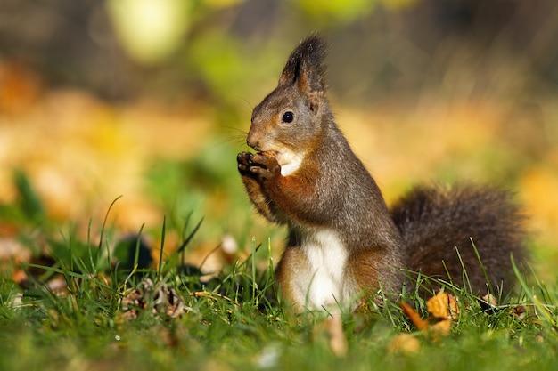 Kleines rotes eichhörnchen, das eine walnuss in der mitte des parks hält