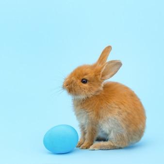 Kleines rotes flaumiges kaninchen, mit blauem gemaltem ei auf blauer oberfläche. ostern-feiertagskonzept