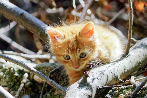 Kleines rotes kätzchen bereitet vor sich anzugreifen