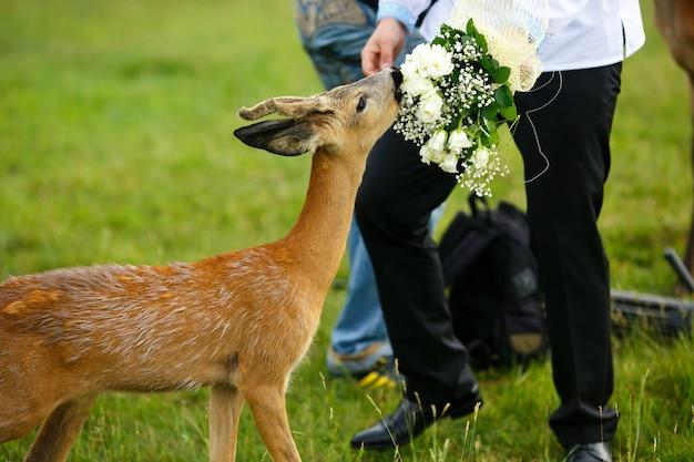 Kleines rotwild isst einen hochzeitsblumenstrauß von den händen des bräutigams