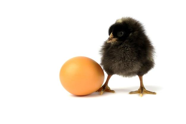 Kleines schwarzes huhn und ei lokalisiert auf weiß