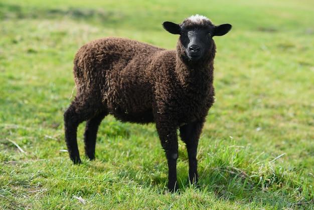 Kleines schwarzes lamm, das auf der wiese auf madeira weidet.