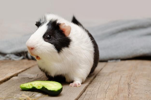 Kleines schwarzweiss-meerschweinchen, das frische gurke isst