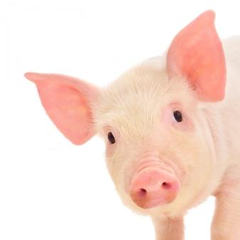 Kleines schwein auf weißem hintergrund