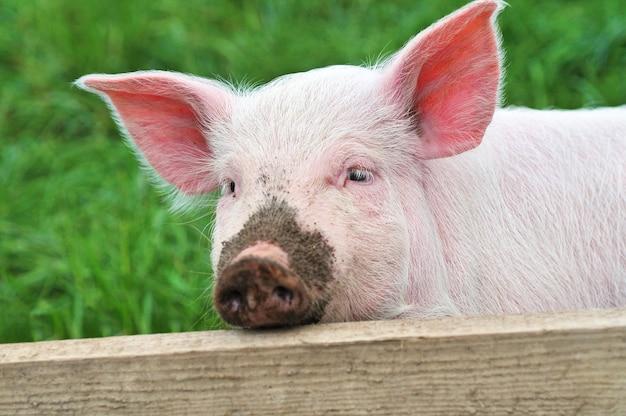 Kleines schwein, das in einem grünen gras steht.