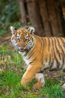 Kleines tigerjunges in freier wildbahn