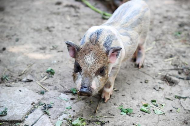 Kleines vietnamesisches ferkel auf einem bauernhof. süßes kleines schwein, das in die kamera schaut