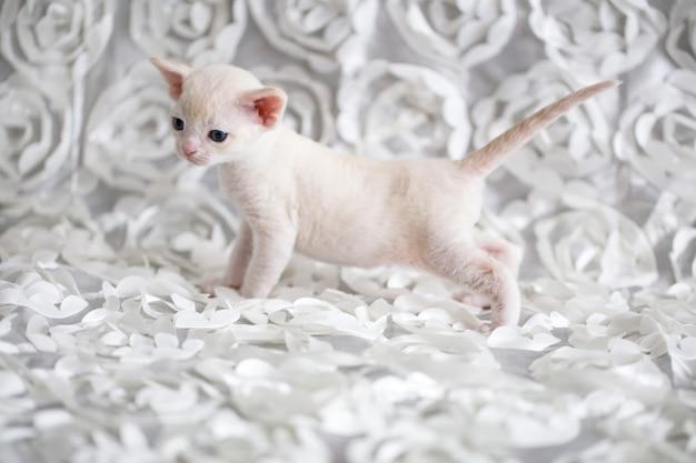 Kleines weißes kätzchen devonrex steht auf einem plaid