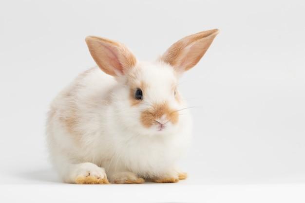 Kleines weißes kaninchen, das auf lokalisiertem weißem hintergrund am studio sitzt.