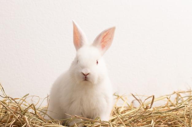 Kleines weißes kaninchen, das auf strohnest mit congrete hintergrund sitzt