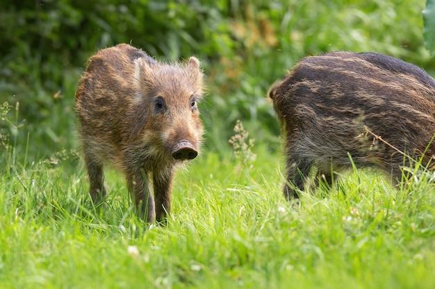 Kleines wildschwein, das auf gras in der frühlingsnatur steht