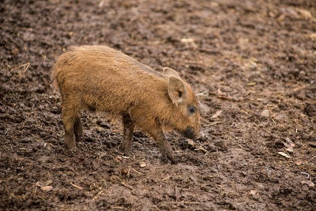 Kleines wildschwein gräbt seine nase auf der suche nach nahrung