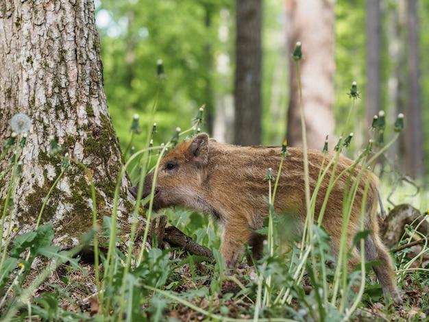 Kleines wildschwein im gras im wald