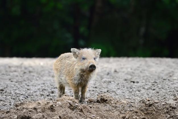 Kleines wildschwein im wald im frühling
