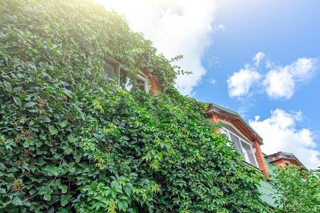 Kletterpflanze, grüner efeu oder weinpflanze, die auf einer antiken backsteinmauer des hauses wächst. hintergrund strukturierter alter ziegelstein mit virginia-kriechpflanze oder jungfräulicher traube (parthenocissus quinquefolia).