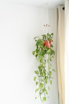 Kletterpflanze in einem hellen innenraum - epipremnum