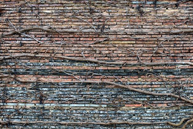 Kletterpflanzen mit trockenen beeren auf einer backsteinmauer.