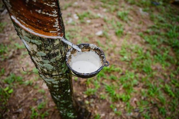 Klopfender latexgummibaum, gummilatex extrahiert vom gummibaum, ernte in thailand.