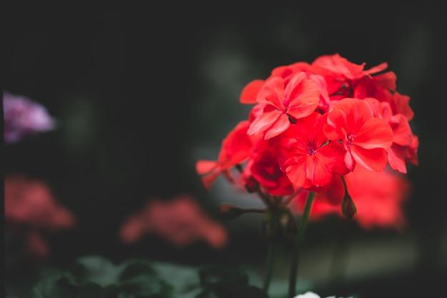 Knallrote blüten stehen. nahaufnahme rote blumen.