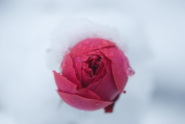 Knospe der rose mit schnee bedeckt, ein plötzlicher schneefall. rosenblüte im winter.