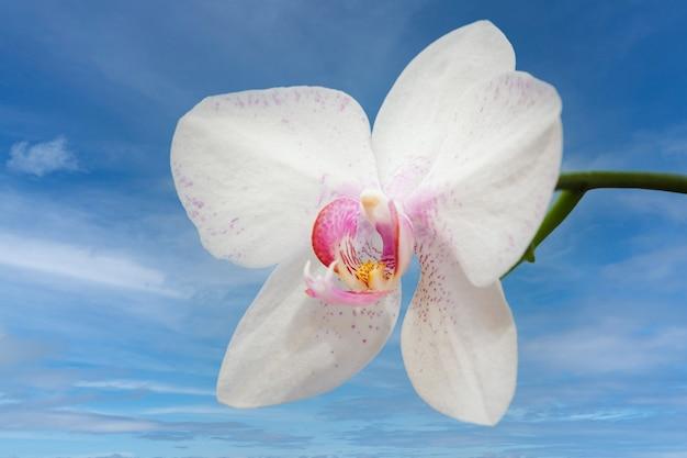 Knospe der weißen orchideenblüte mit blauem himmel im hintergrund.