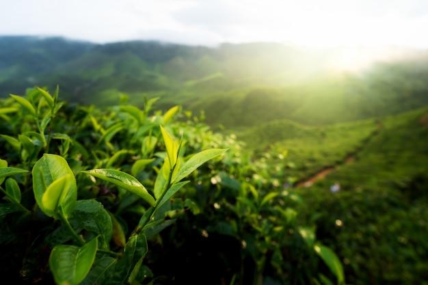 Knospe des grünen tees und frische blätter. teeplantagen im cameron-hochland, malaysia.