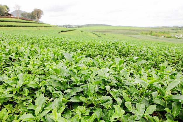Knospe des grünen tees und frische blätter. teeplantagen.