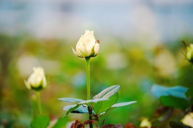 Knospen der weißen rosen auf einem grünen busch im frühlingsgarten