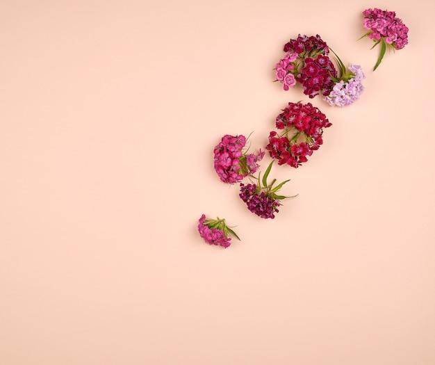 Knospen, die türkische gartennelken dianthus barbatus blühen