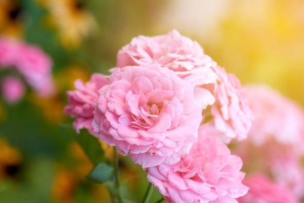 Knospen von rosa blühenden rosen im garten, strahlen des hellen sonnenscheins