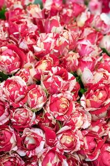 Knospen von schönen, frischen roten und weißen rosen.