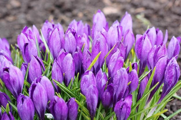 Knospt die purpurroten krokusse, die im garten wachsen.