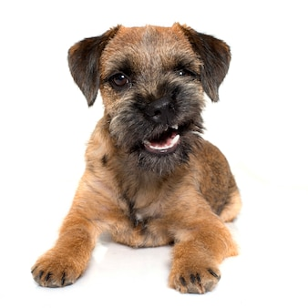 Knurrender border terrier