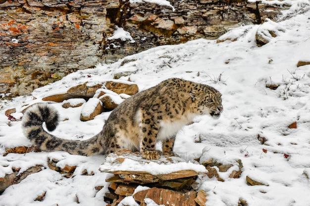 Knurrender schneeleopard thront auf einer leiste im schnee
