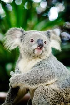 Koala, der auf einem baum sitzt.