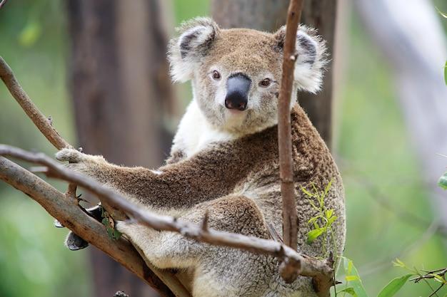 Koala in einem baum