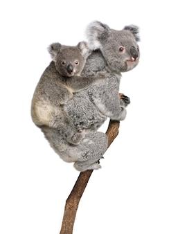 Koala und ihr baby - phascolarctos cinereus