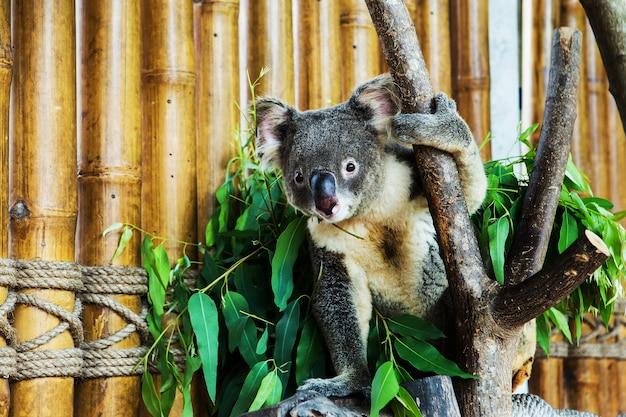 Koalabär im zoo