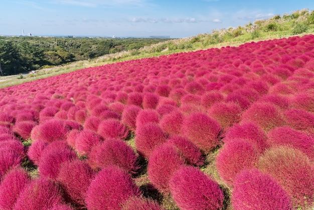 Kochia und cosmos haben hitachi ibaraki japan eingereicht